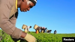 FILE - A woman picks tea leaves at a plantation in Nandi Hills, in Kenya's highlands region west of capital Nairobi, Nov. 5, 2014. Emerald-colored tea bushes blanketing the rolling hills of Nandi County have long provided a livelihood for smallscale farmers, helping make Kenya one of the world's biggest tea exporters.
