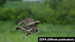 Stepski soko (Falco cherrug) je strogo zaštićena vrsta, Foto: Zavod za zaštitu prirode Srbije