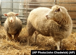 FILE: Dolly, right, the first cloned sheep seen in this 1997 photo. (AP Photo/John Chadwick)