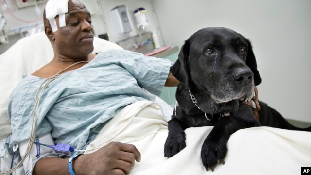 Cecil Williams pets his guide dog Orlando in his hospital bed following a fall onto subway tracks from the platform at 145th Street, Dec.17, 2013, in New York.