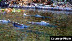 加州的切奴克鲑鱼洄游产卵(美国鱼类和野生动物局网页图片)