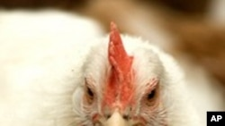 การเลี้ยงไก่ไว้สำหรับไข่สด ในกรุงวอชิงตัน