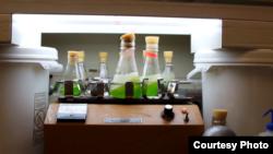 Tảo được nuôi trong các chai lọ lớn trong phòng thí nghiệm của ông Phil Savage tại Đại học Michigan sẽ biến thành dầu thô sinh học trong chưa tới 1 phút qua quá trình xử lý