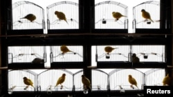 FILE - Canaries perch in their cages in a bird shed in Randalstown, Northern Ireland.