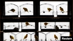 Canaries perch in their cages in a bird shed in Randalstown, Northern Ireland. (REUTERS/Cathal McNaughton)