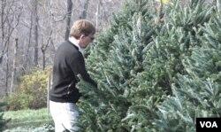 A customer at Krop's Crops in Great Falls, Va., considers various trees.