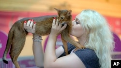 A cat gets a kiss from its owner during a cat show in Bucharest, Romania, Saturday, Sept. 28, 2019. Hundreds of cats recently competed in an international show in the Romanian capital. (AP Photo/Vadim Ghirda)