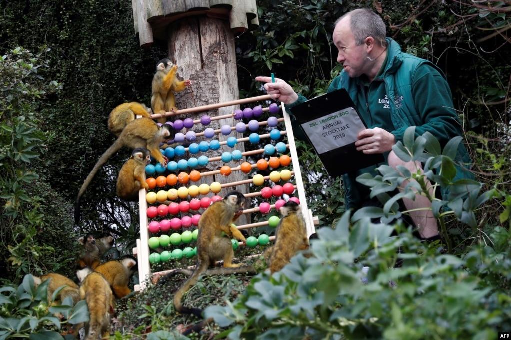 런던 동물원에서 사육사가 다람쥐원숭이들과 시간을 보내고 있다.