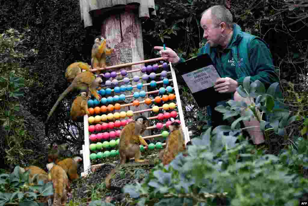 A zoo keeper poses with squirrel monkeys during the annual stock take at the ZSL London Zoo in central London.