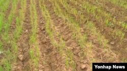 지난해 6월 조선중앙통신이 평양시 강남군 당곡협동농장의 가뭄 대응 노력을 영상으로 내보냈다. (자료사진)