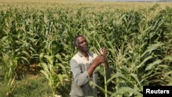 South Africa's plans to undo the wrongs of apartheid by returning land seized from native blacks is embodied in the life of farmer Koos Mthimkhulu, shown inspecting his crop at his farm in Senekal, February 29, 2012.