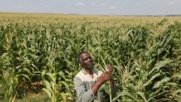 Un agriculteur inspecte la récolte dans sa ferme à Senekal, Afrique du Sud, le 29 février 2012. (Reuters)