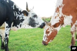 South African agro-ecological farmer, Richard Haigh, farms only with indigenous animals, such as these Nguni cattle