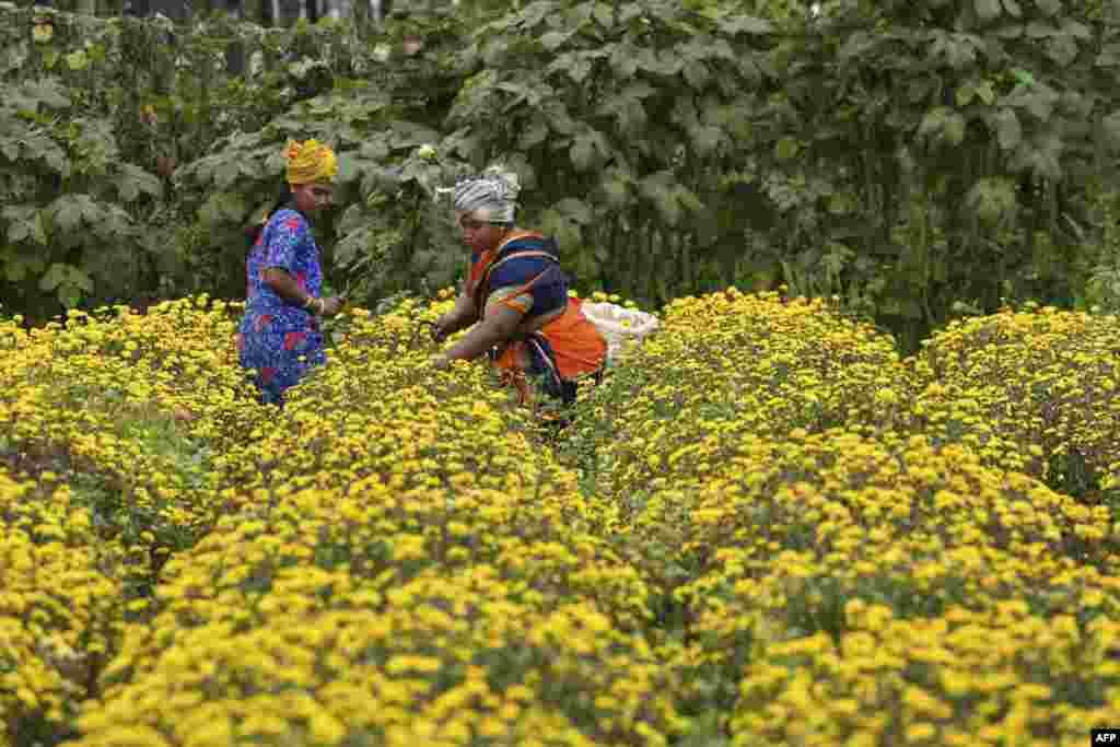 گلهای داوودی، کشتزاری در بنگلور هند