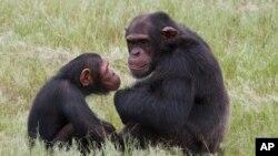 Simpanse Afrika