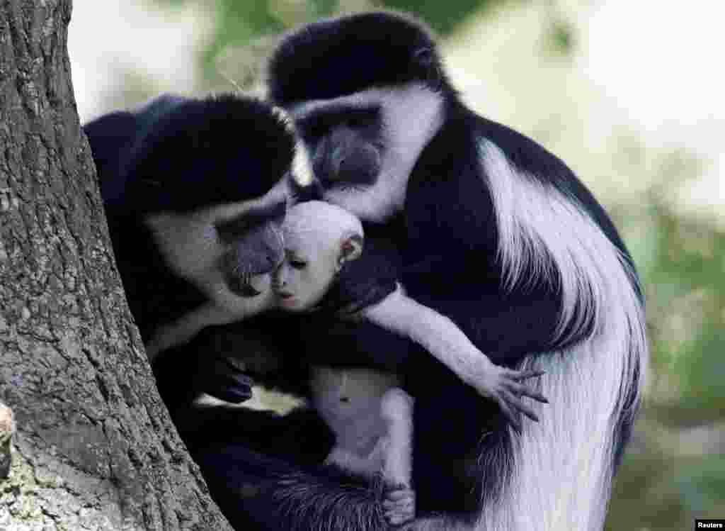 Guereza monkeys (Colobus Guereza) hold a newborn baby at Prague Zoo, Czech Republic. The guereza monkey baby was born on July 31, according to the zoo.