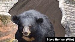 柬埔寨达茅山野生动物救援中心的一只雌性月亮熊。