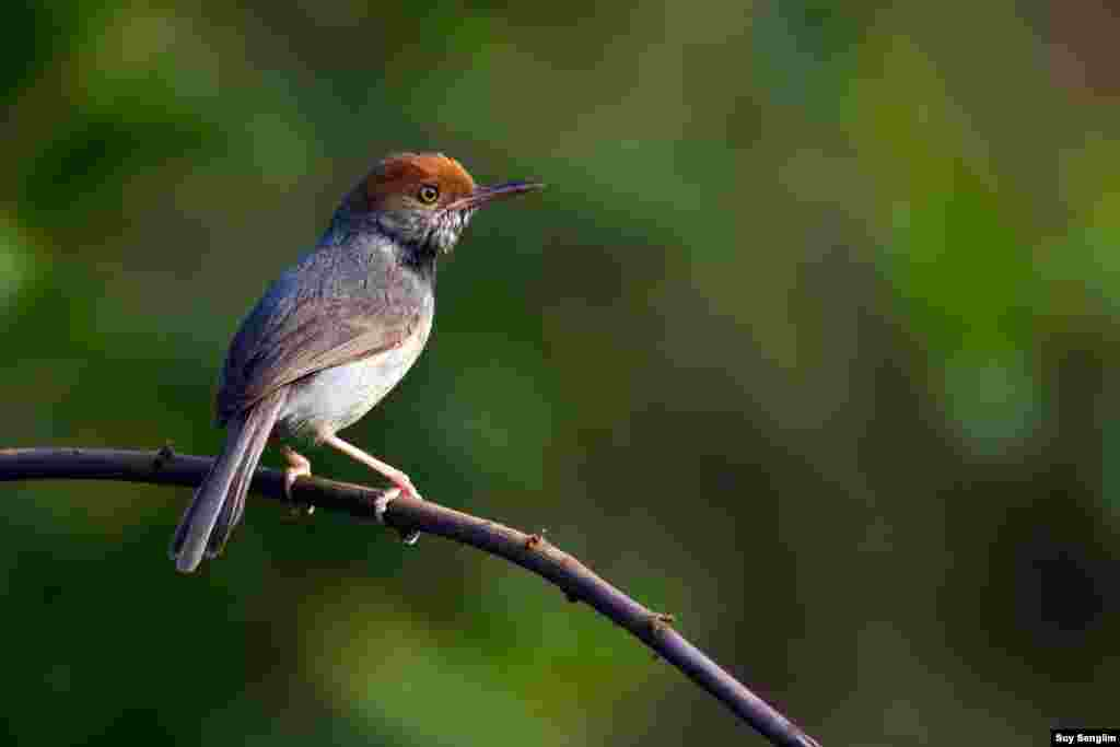 A new species to the world of tailorbirds was discovered in 2009 within the territory of Phnom Penh city by leading author Simon Mahood of Wildlife Conservation Society Cambodia. The Cambodian Tailorbird is the second endemic species to Cambodia after Cambodian Laughingthrush. (Photo by Suy Senglim)