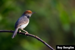 A new species to the world of tailorbirds was discovered in 2009 within the territory of Phnom Penh city by leading author Simon Mahood of Wildlife Conservation Society Cambodia. (Photo by Suy Senglim)