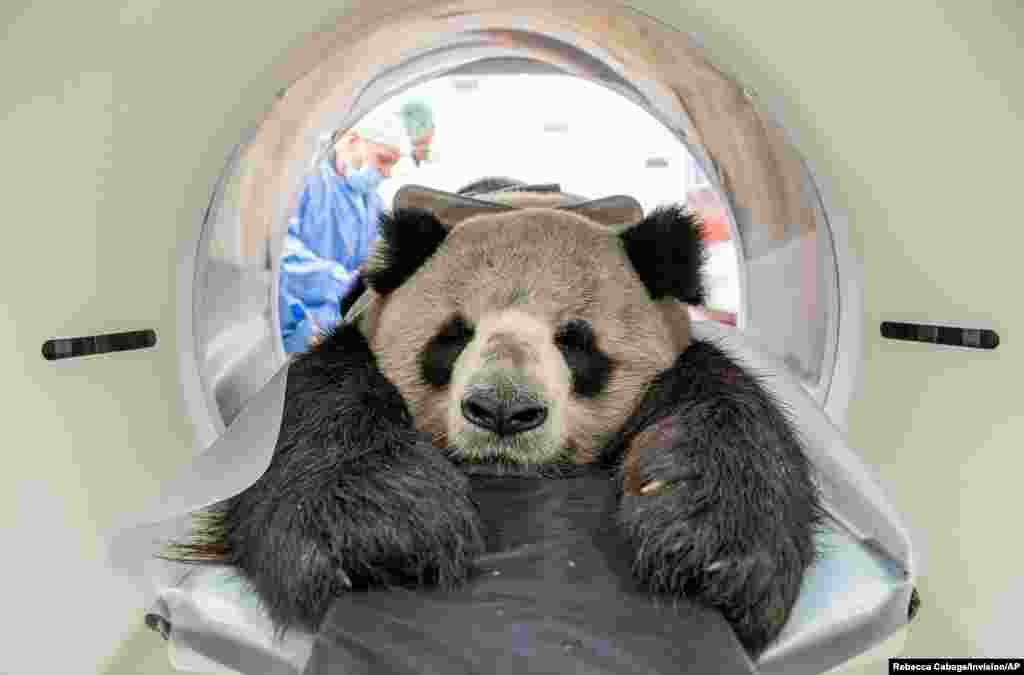 A handout image from the Berlin Zoo shows Chinese panda bear Jiao Qing having a CT scan at the Institute for Zoo and Wildlife Research (IZW) in Lebniz, Germany.