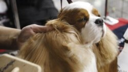 A Cavalier King Charles Spaniel, is groomed prior to competing in the Oklahoma City Summer Classic Dog Show