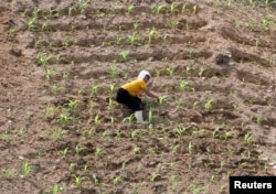 지난해 6월 북한 평안북도 삭주군의 한 농장에서 일하는 여성. 북한 당국은 지난해 황해도와 평안도 등 곡창지대를 비롯한 전국 농지에서 가뭄을 겪고 있다고 밝혔다.