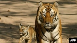 A tiger with cub at Bandhavgarh Tiger Reserve