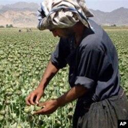 افغانستان میں پوست کی فصل