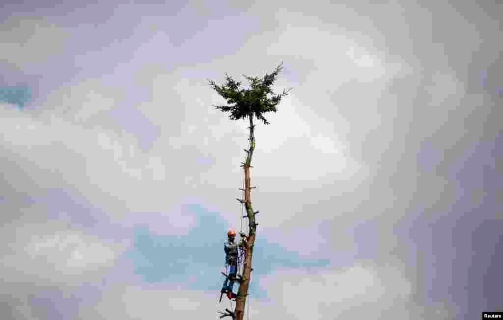 A professional lumberjack cuts a tree, branch by branch in Hanau, 30km south of Frankfurt, Germany.
