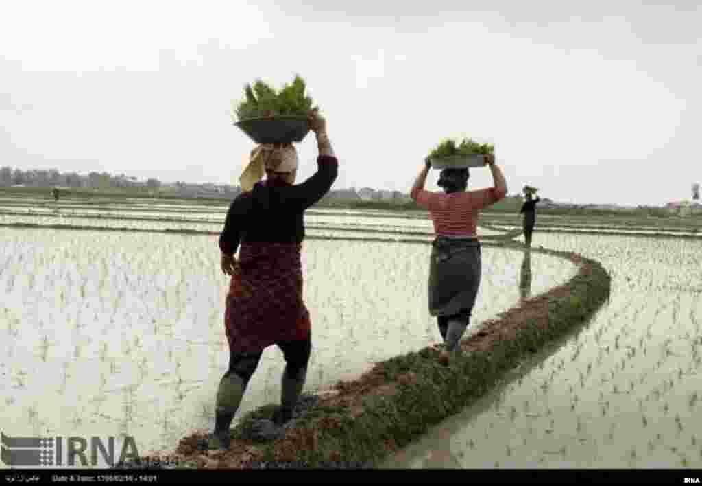 نشاکاری برنج در استان گیلان عکس: ابوذر حمیدی جیرنده