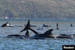Sekelompok paus, yang diyakini sebagai paus pilot, terdampar di Pelabuhan Macquarie, dekat Strahan, Tasmania, Australia, 21 September 2020. (Foto:AAP / The Advocate Pool, Brodie Weeding via REUTERS)
