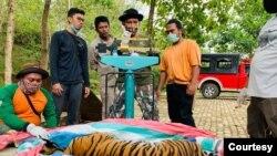 Seekor harimau Sumatra yang diobservasi di Sanctuary Harimau Barumun Nagari, Sumut. (Courtesy: BBKSDA Sumut).