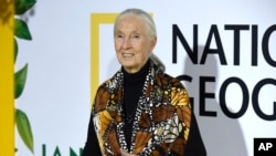 "Jane Goodall arrives at the Los Angeles premiere of ""Jane"" at the Hollywood Bowl on Monday, Oct. 9, 2017, in Los Angeles. (Photo by Chris Pizzello/Invision/AP)"