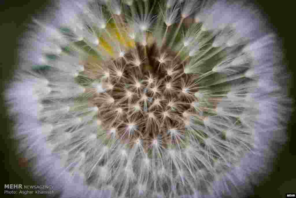 گل قاصدک یا خبرچین عکس: اصغر خمسه