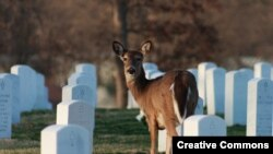 Deer grazing in Jefferson Barracks National Cemetery, St. Louis County, Missouri. (Philip Leara, Creative Commons)