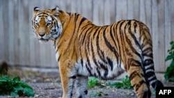 Hổ Siberia nằm trong số các chủng loài bị đe dọa nhất thế giới
