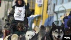 Brennan Norden (nomor 42), salah satu peserta balapan Iditarod di jalanan Anchorage, Alaska.