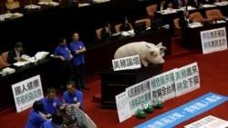 台灣國民黨在立法會現場擺放一頭豬模型以反對開放美豬進口。(2016年5月31日)