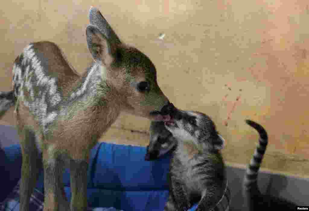 A roe deer cub licks a coati at a local park of miniatures in Bakhchisaray, Crimea, June 10, 2020.