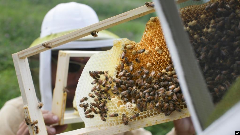 Канада залучає українських бджіл до порятунку місцевої популяції - посол у Києві