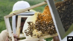 Beekeepers check honeybee hives for queen activity and do regular clean-up. This program is a collaboration between the Cincinnati Zoo and TwoHoneys Bee Co. at EcOhio Farm in Mason, Ohio, 2015. ((AP File Photo/John Minchillo)