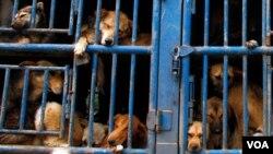 Para las autoridades se ha vuelto costumbre ver camiones llenos de jaulas con perros en las calles de la ciudad.