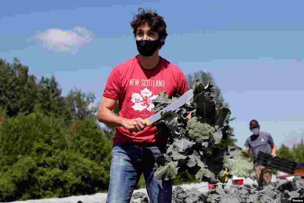 Canada's Prime Minister Justin Trudeau harvests broccoli at an Ottawa Food Bank farm on Canada Day in Ottawa, Ontario.
