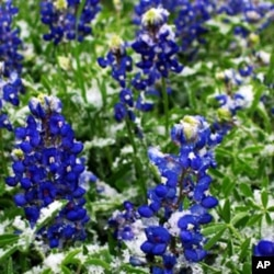 The lovely bluebonnet is the Texas state flower.