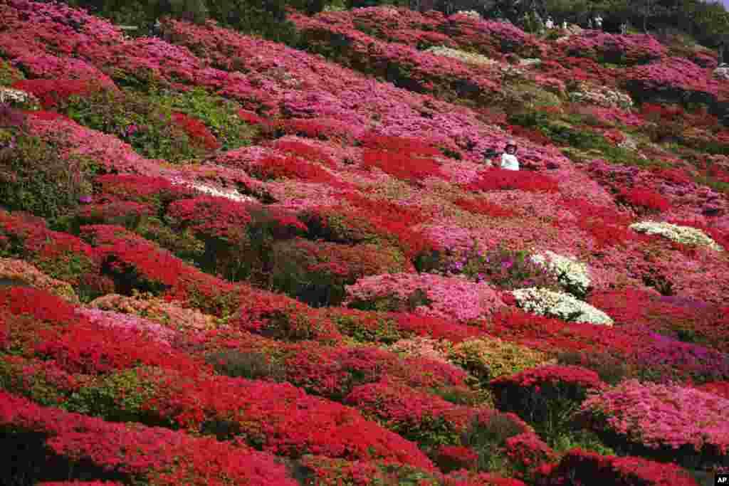 Azaleas are in full bloom at Nagushiyama Park in Sasebo, Nagasaki Prefecture, southwestern Japan.