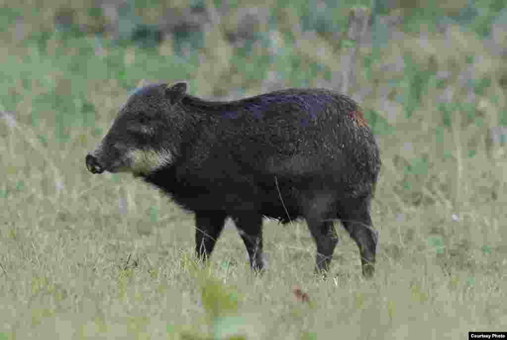 White-lipped peccaries used to be the dominant terrestrial mammals in South American rainforests. (Mauro Galetti)