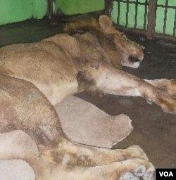 Singa Afrika yang lepas dari kandang berhasil dilumpuhkan setelah ditembak bius tiga kali (31/1).