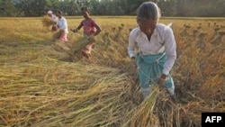 Phụ nữ Ấn Độ thu hoạch lúa tại thôn Raja Panichanda ở vùng ngoại ô Gauhati, Ấn Độ, 4/11/2011