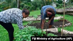 Islands in the Pacific ocean have few Coronavirus infections. But some people started gardens to have more food for their families (Fiji Ministry of Agriculture via AP)
