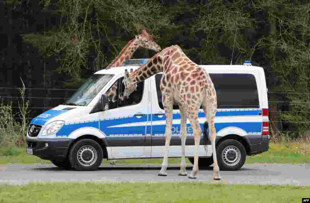 រូបថតបង្ហាញពីសត្វហ្ស៊ីរ៉ាហ្វកំពុងពិនិត្យមើលរថយន្តប៉ូលិសដែលចតនៅសួន Serengeti-Park ក្នុងក្រុង Hodenhagen ប្រទេសអាល្លឺម៉ង់ ទីដែលប៉ូលិសប្រមាណ ២៥០នាក់ ដែលពាក់ព័ន្ធនឹងទស្សនកិច្ចរបស់លោក Obama ស្នាក់នៅ។ លោក Obama គ្រោងនឹងសង្កត់ធ្ងន់ទៅលើការពង្រឹងទំនាក់ទំនងជិតដិតជាមួយនឹងអធិការបតីអាល្លឺម៉ង់លោកស្រី Angela Merkel និងថ្លែងពីគោលជំហររបស់លោកលើកិច្ចព្រមព្រៀងពាណិជ្ជកម្មសេរីឆ្លងមហាសមុទ្រអាត្លង់ទិច (TTIP)។